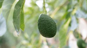 avocado growing on a tree