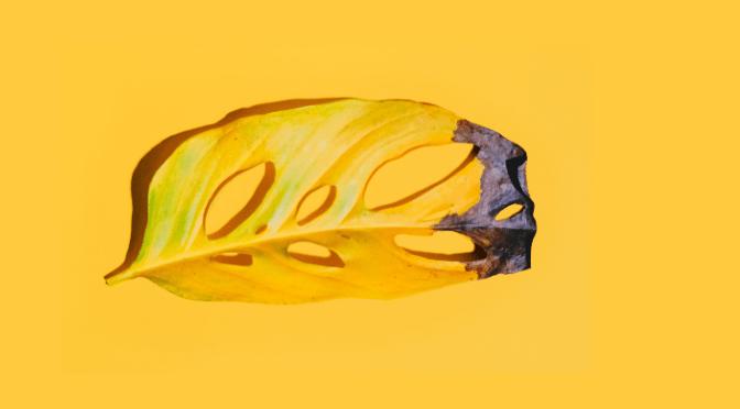 yellow monstera adansonii leaf