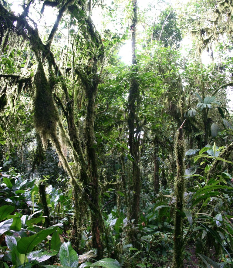 Cloud_forest_Ecuador-768x883