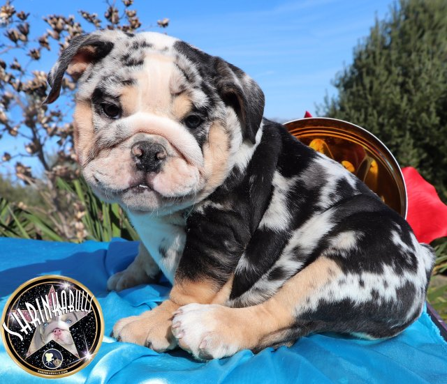 puppies for sale - planet merle english bulldogs - home of
