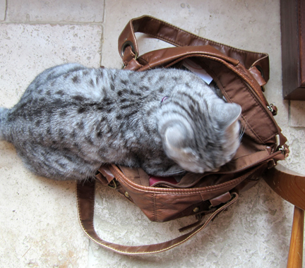 silver tabby cat in a handbag