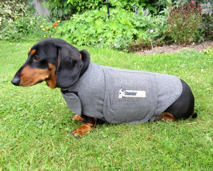 miniature dachshund wearing a Thundershirt