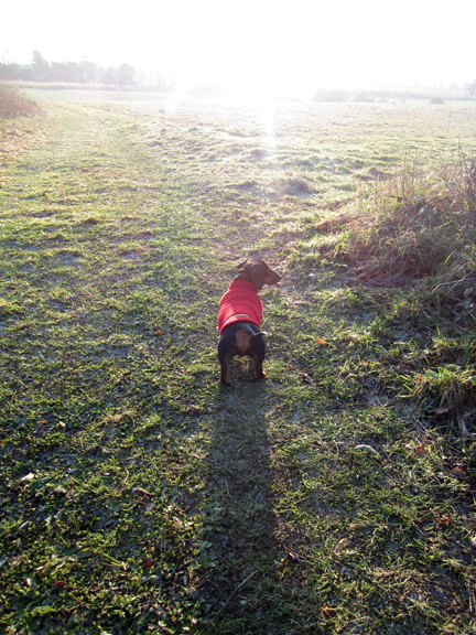 Miniature Dachshund on a frosty walk