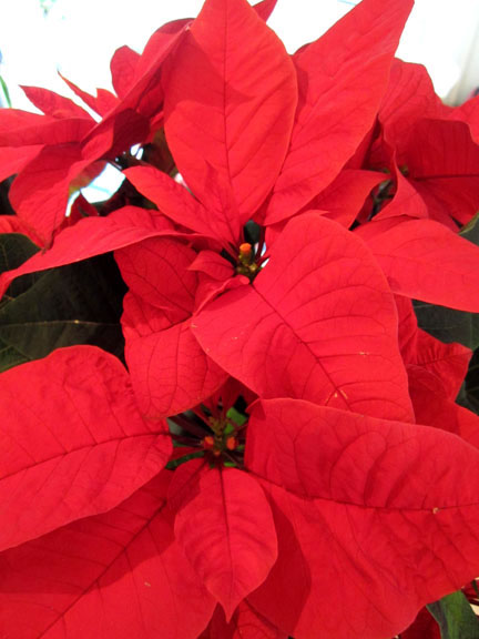 poinsettia for advent Calendar