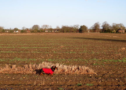 miniature dachshund in field