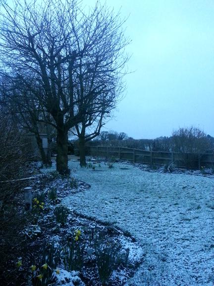 dagfodils in snow