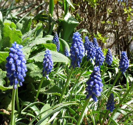 grape hyacinths in sunshine