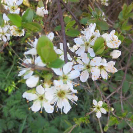 white sloe blossom