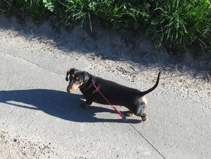 a walk with a miniature dachshund
