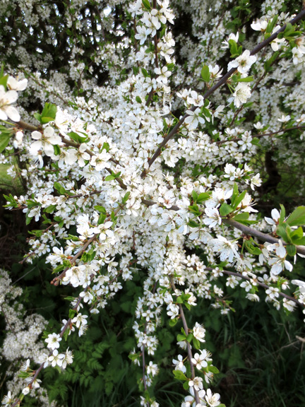 blossom in hedgerow