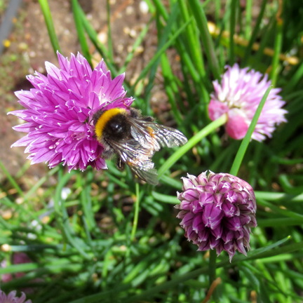 chives with bee
