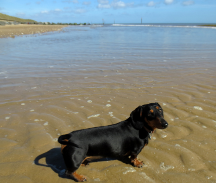 miniature dachshund at the beach