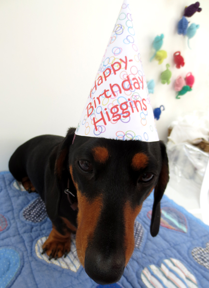 Higgins, miniature dachshund in party hat