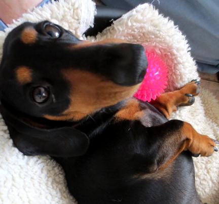 mini dachshund pink ball