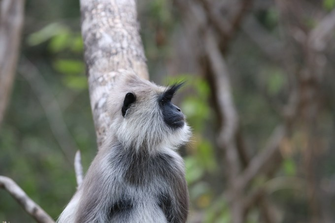 Langur Eyebrows