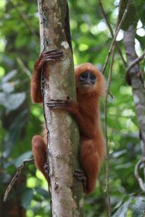 Red Leaf Monkey looking handy
