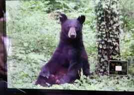 One of two bears roaming Princeton. Photo: Seth Callen.