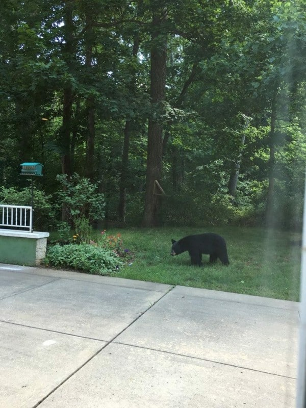 A bear stopped by Acorn Glen assisted living this afternoon. Photo: Dale Spruill Redding.