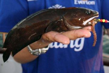 tadpole fish