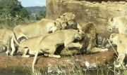 Lioness Pride Attacks A Male Lion To Remove Him As Leader Of The Pride!