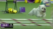 Rudy the Bulldog Dominates the Course With His Amazing Speed and Agility – 2019 Westminster Dog Show