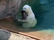 Polar Bear Eats A Live Duck That Lands In Its Enclosure!
