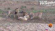 Female Fxxkery Goes Down Even In The Animal Kingdom: Lions Missed A Whole Meal Because Lioness Was Not Happy With Her Man's Side Piece!
