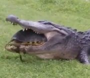 Not Today: Turtle Saves Its Life From The Jaws Of A Crocodile!