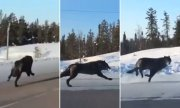 Canada Got Some Beasts: 2 Black Wolves Running Down The Highway… Reaching 30 MPH Speeds!