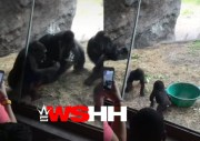 Even Animals Get Jumped: Mother Snatches Another Gorilla's Kid For Trying To Fight Her Son…. Gets Jumped By The Mama & Her Friends!