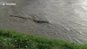 Crocodile with tire stuck round neck reappears in Indonesia after failed efforts to remove the item