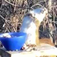 Lol: Squirrel Gets Super Faded Off Fermented Pears!