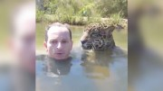 Guy Swims With A Jaguar Like Its Nothing!
