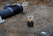 Ferret Becomes First North American Endangered Species To Be Cloned!