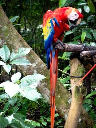 Travel Photo: Honduras - Macaw at the Mayan Ruins of Copan Ruinas