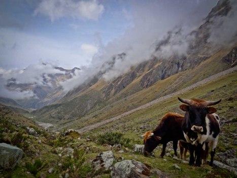 Salkantay Trek - Cattle on Salkantaypampa