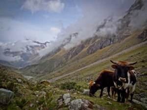 Salkantay Trek - Cattle on Salkantaypampa