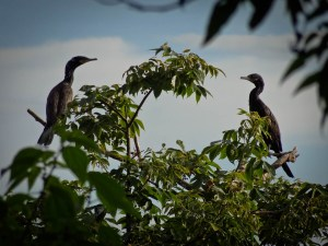 Cormorants at Chaco Verde Ometepe Nicaragua