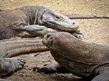 indonesia-6-rinca-and-komodo-14