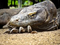 indonesia-6-rinca-and-komodo-16