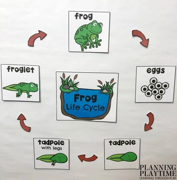Frog Life Cycle Anchor Chart