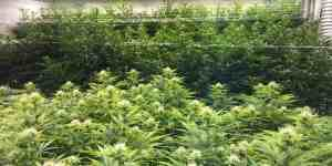 Marijuana Smallbiz