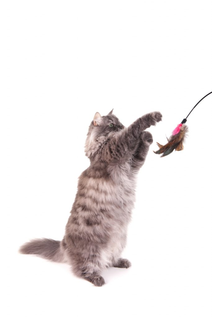 A gray Siberian cat stands up while playing.  Photo has motion blur on the cat's paw.