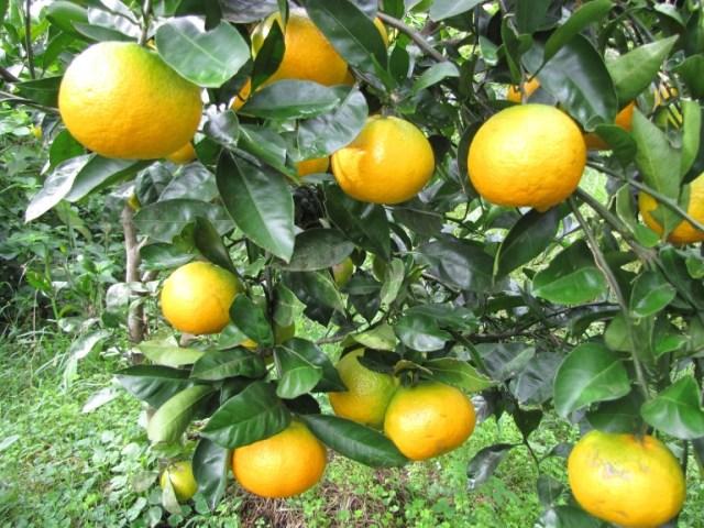 mandarin okitsu wase satsuma 170