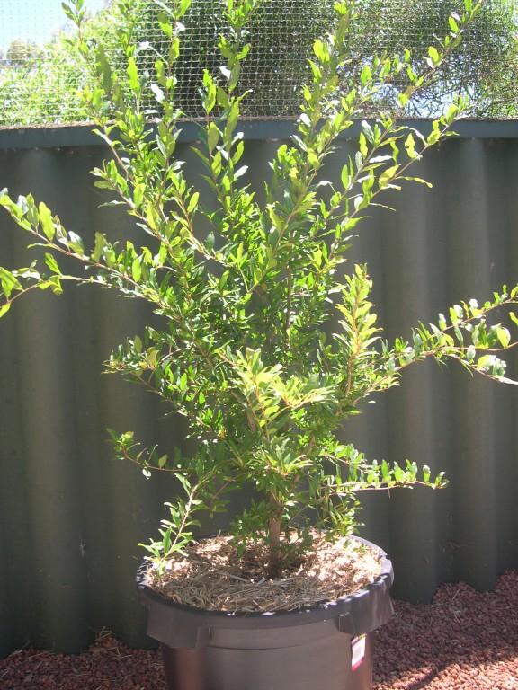 Pomegranate Elcite Tree Punica Granatum