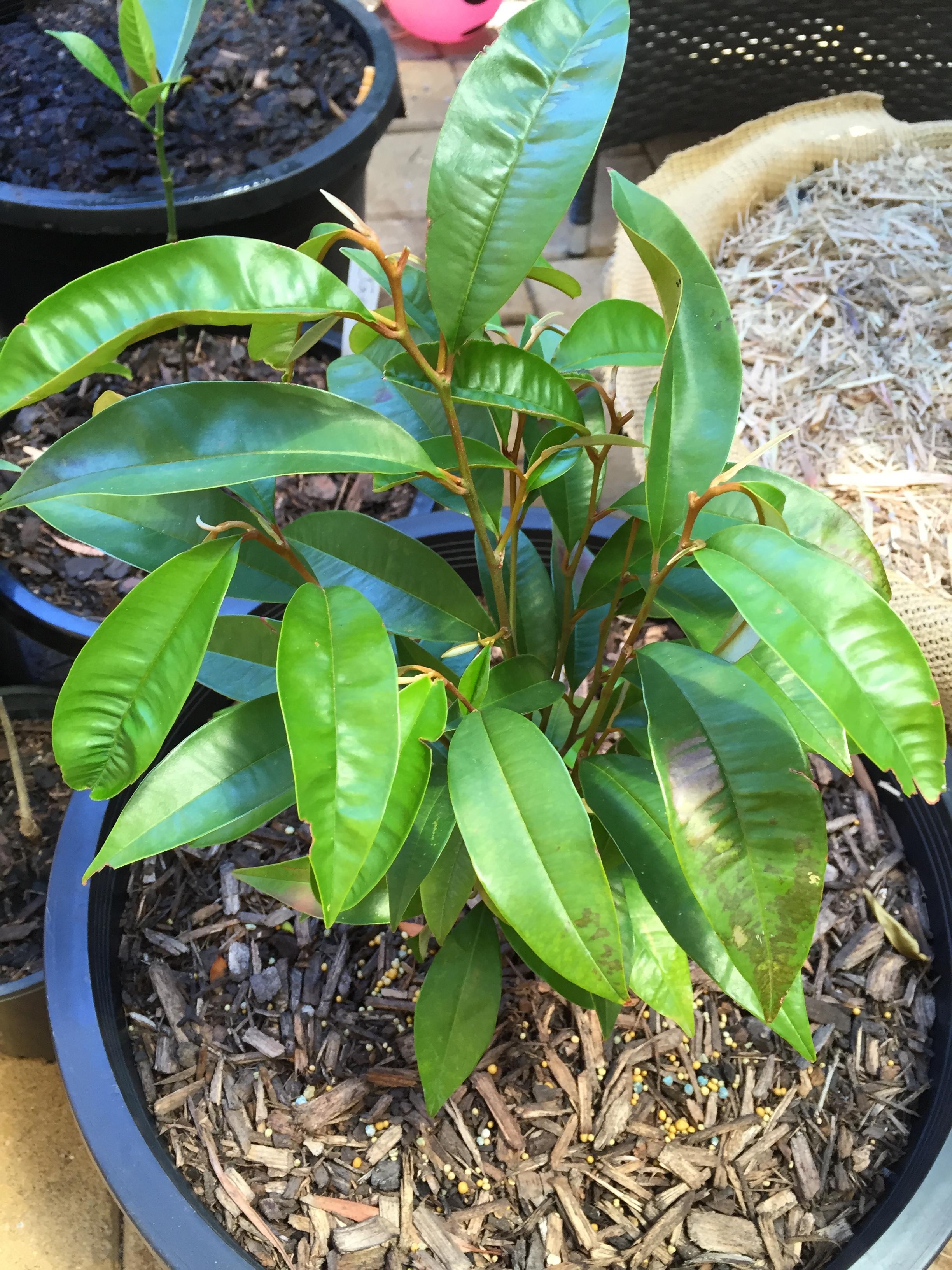 Star Apple Tree Chrysophyllum Cainito