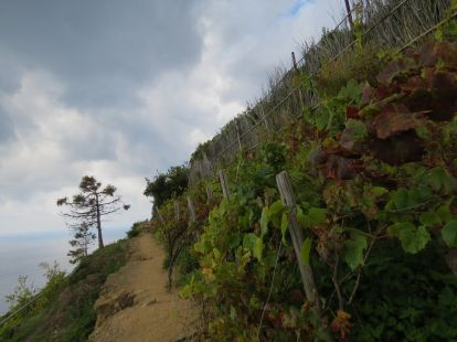 Cinque Terre path among the vines