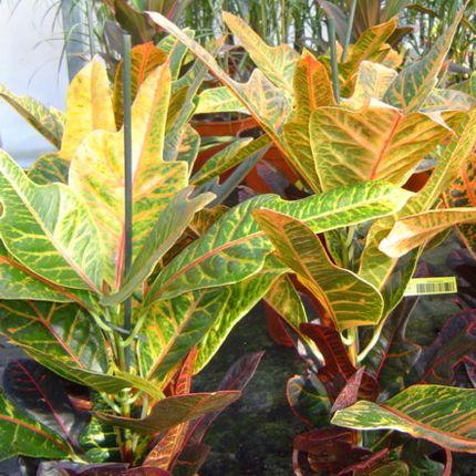 Codiaeum variegatum – tarka kroton (Euphorbiaceae)