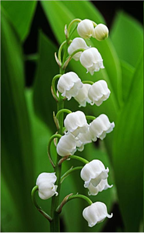 Convallaria majalis – májusi gyöngyvirág (Convallariaceae)