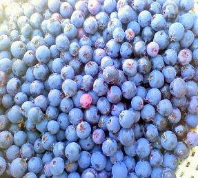 Amelanchier fruits